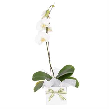 Phalaenopsis Orchid (Potted Plant) - gift wrapped Flowers