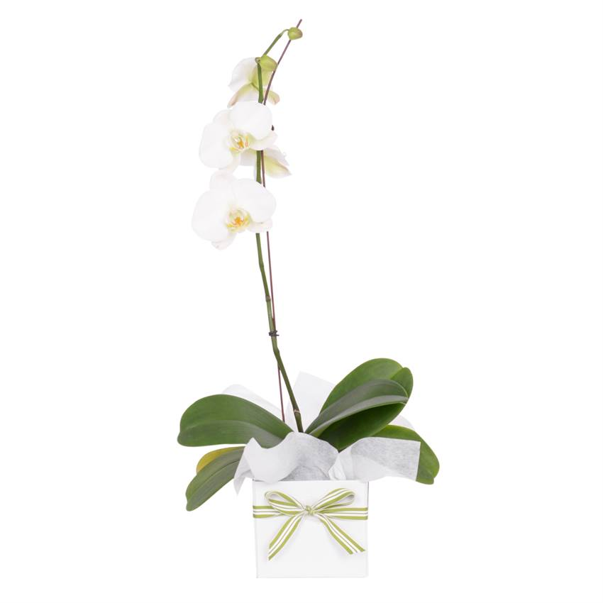 Phalaenopsis Orchid (Potted Plant) - gift wrapped